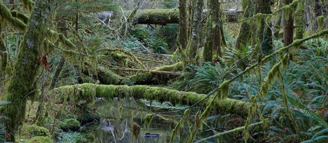 stream_river_mossy_hoh_rainforest_scenic_forest_floor_r_mckenna_march_2015